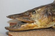 Fischpräparat