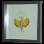 Stabschrecke (Tagesoidea nigrofasciata)