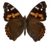Schmetterling, Edelfalter