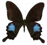 Papilio blanor