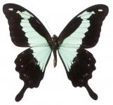 Blau schimmernder Schmetterling