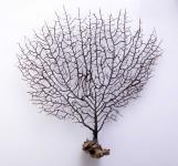 Fächerkoralle (klein)