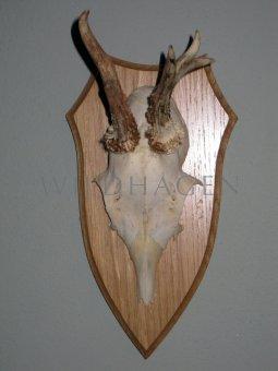 Gehörn vom Rehbock Geweih auf Holztafel