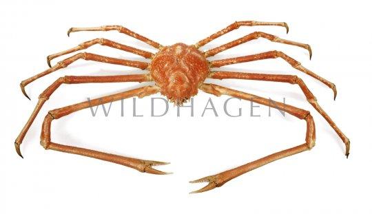 Japanische Riesenkrabbe (高脚蟹)