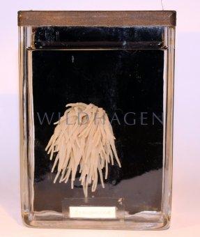 Nasspräparat Seeanemone