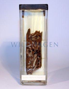 Nasspräparat Schiffsbohrwurm