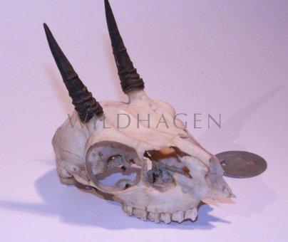 Dik-Dik Antilopen Schädel mit Hörnern