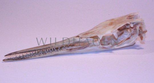 Schädel Krokodil Hornhecht (echt)