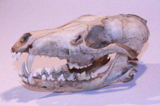 Schädel von einem Fuchs