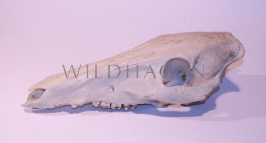 Schädel vom Rotwild