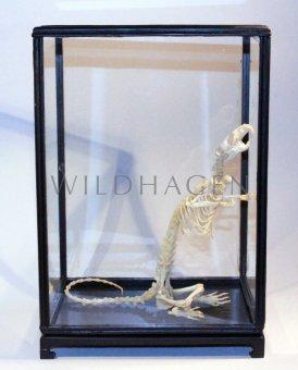 Ratten Skelett ( echt) im Schaukasten