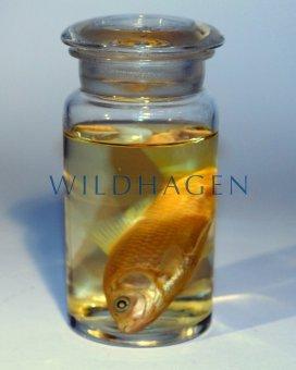 Nasspräparat Gold Fisch