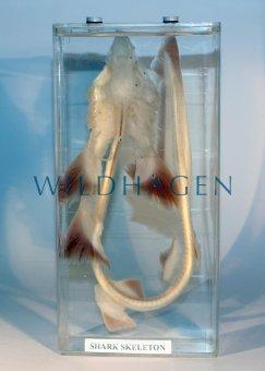 Nasspräparat Hai Skelett
