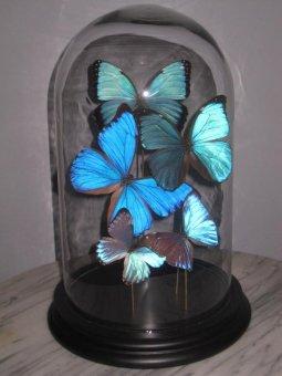 Morphos unter Glashaube