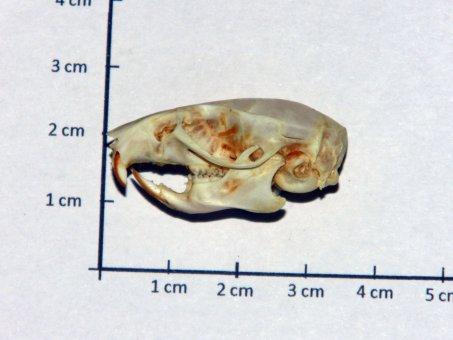 Schädel Ratte (echt)