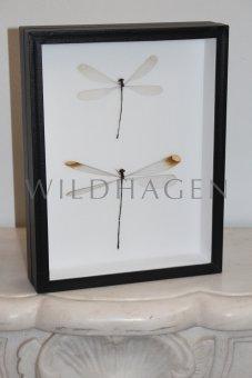 Zwei Libellen im Rahmen