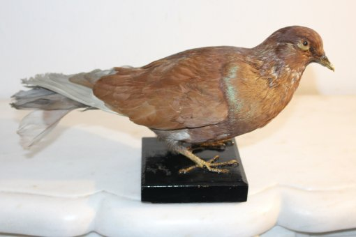 Taube auf Sockel
