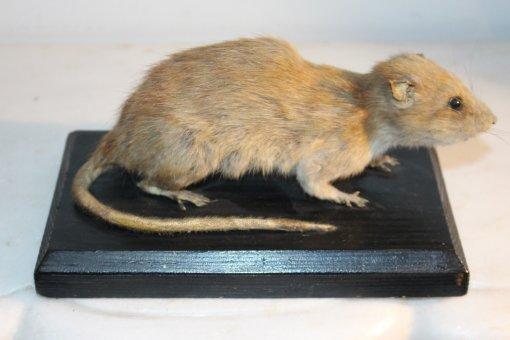 Ratte auf Sockel