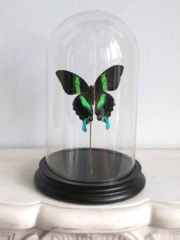 Schmetterling unter Glashaube