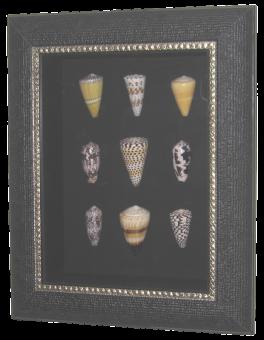Conus Muschel Sammlung