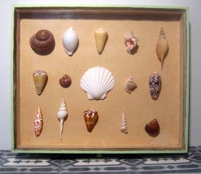 Muscheln im Museumsrahmen