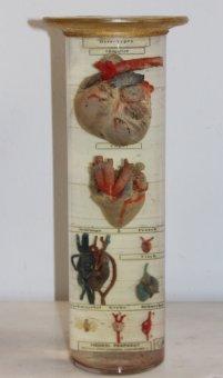 Nasspräparat Herz