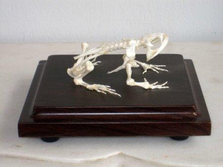 Echtes Frosch Skelett