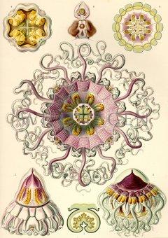 Naturkundlicher Druck Ernst Haeckel