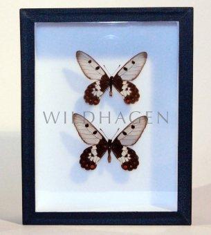 Zwei Schmetterlinge im Rahmen