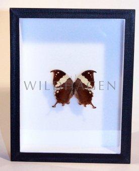 Schmetterling im Rahmen