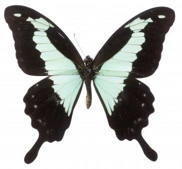 Schmetterling, Papilio