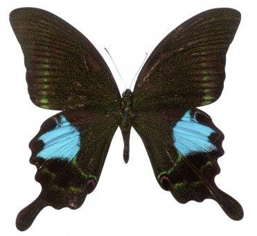Papilio polyctor ganesa