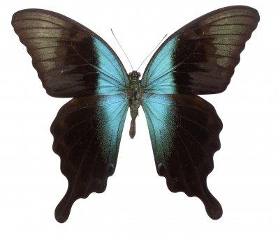 Papilio peranthus