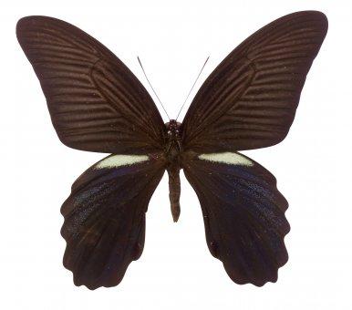Papilio protenor amaura