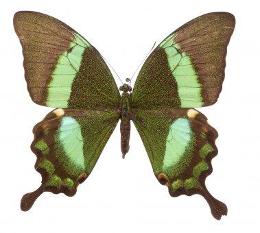 Papilio daedalus