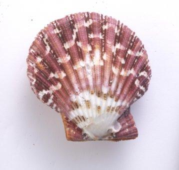 Königsmantel Muschel
