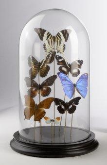 Schmetterlinge unter Glashaube