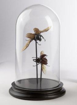 Zwei Käfer unter Glashaube